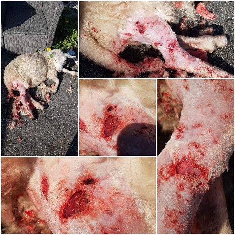 AVLIVET: Lammet som ble angrepet av hund i august, var så hardt skadet at det måtte avlives.