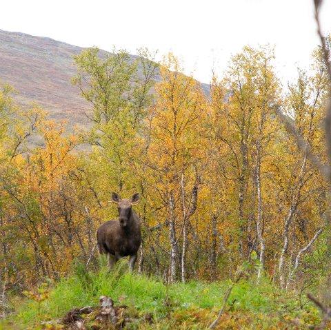 TROMSØYAFLOKKEN: Det er minst seks dyr i skogen nord på Tromsøya. Nå blir oksene brunstig og kanskje hissige