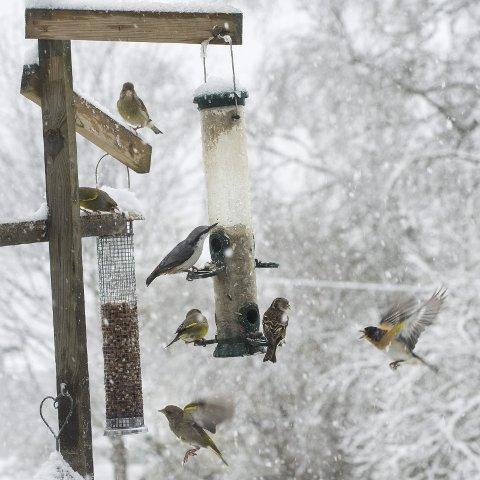 God mat: Fuglene strømmer til mateplassen i det ruskete vinterværet.
