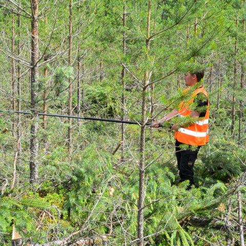 WILHELM Klingenberg Andersen i gang med å måle avstanden mellom unge trær i nyskogen. Det er viktig å få riktig avstand så de ikke gror inn i hverandre.