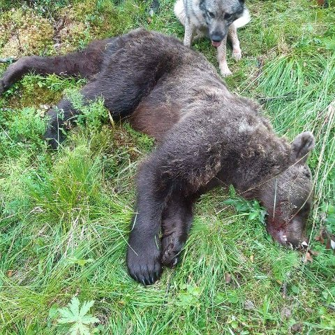 Denne hannbjørnen ble felt i Dalsbygda tidlig lørdag morgen.
