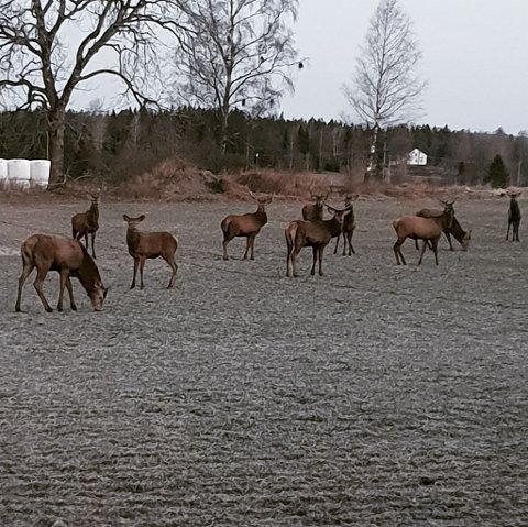 HJORT: Dette bildet ble tatt av Trond Vidar Tønsberg av hele ti hjort på beite sammen. Leder i Rakkestad Viltnemnd er overbevist at også Rakkestad har en stor nok hjortestamme til at det er burde blitt åpnet for hjortejakt.