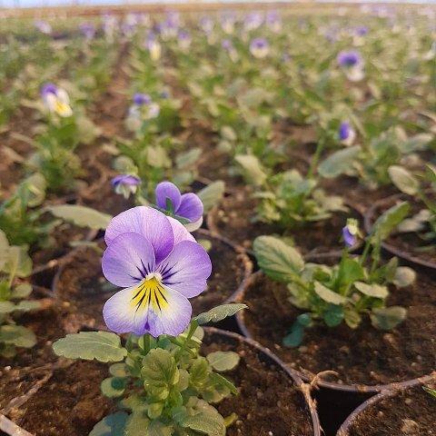 Stemor og løkblomster er blant det som spirer og gror nå.