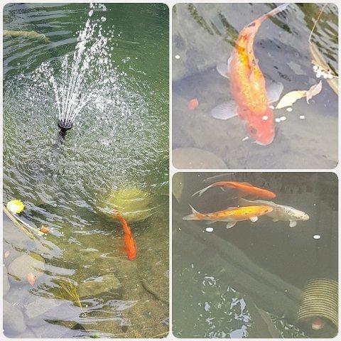 SPORLØST FORSVUNNET: Totalt åtte fisker, derav fem oransje og 3 svarte, forsvant fra ekteparets karpedam i løpet av tirsdagen.