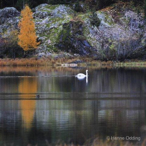 Vinner uke 42 og månedens vinner for oktober: Et stemningsfullt bilde med fine farger og svanen som trekker en strek gjennom bildet. Veldig bra! Foto: Hanne Odding