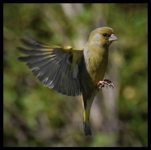Vinner av uke 22 og fotovinner for mai: Pål Granerud har tatt dette flotte bildet av en grønnfink i svevet. Det er ikke lett å få skrapt bilde av en fugl i svevet. Dessuten har fuglen blikkontakt med fotografen. Bra!