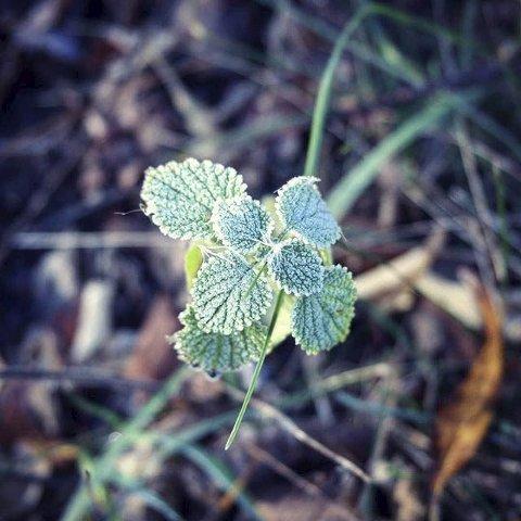 Bladene: Dmitry har tatt bilde av høstfrosne blader.