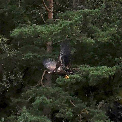 TRE PÅ EIN GONG: Bente May og Kjell Magnar Stangeland såg tre ørnar på nært hald tysdag kveld.