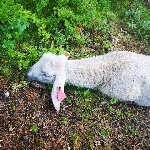 Apatisk: Lammet lå apatisk, rett ut, uten å bevege seg, da hytteeierne fant det.