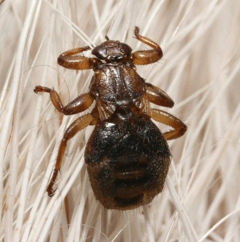 IRRITERENDE: Å få dette insektet på husen og i hodebunnen.