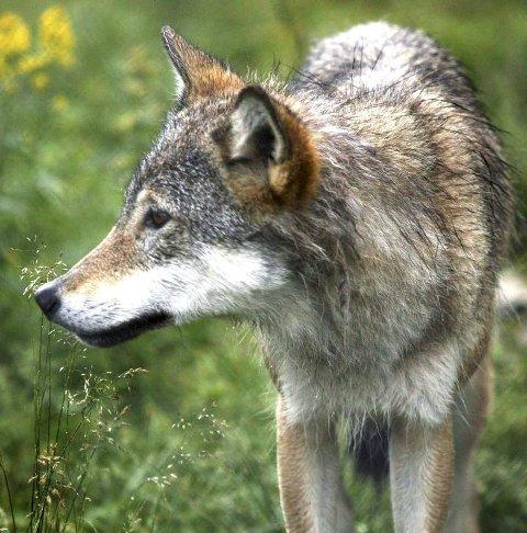 FRITT VILT: Nye saueskader gjør ulven til fritt vilt igjen.