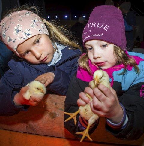 Koste med kyllingene: Wilma Backe Godø (6) og Anna Suhrke-Refsdal (7) syntes det var stas å kunne holde kyllingene. alle foto: Åsmund A. Løvdal