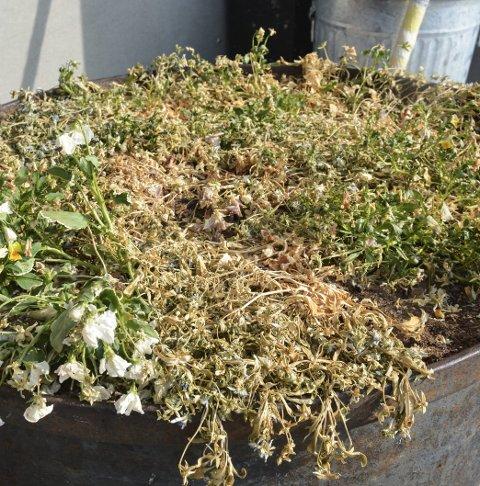 BEST FØR: Blomstene ved inngangspartiet på Veldre bo- og aktivitetssenter har sett bedre dager.
