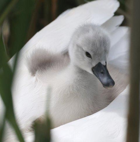 SVANEUNGE.: En av svaneungene som ble klekket på Ås denne våren.