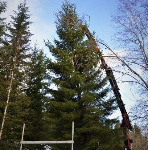 I fjor: et av fjorårets juletrær tas ned.Foto: Olav Nordheim