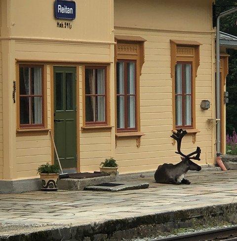 Denne reinen lå tirsdag og slappet av på perrongen ved Reitan stasjon langs Rørosbanen i Holtålen.
