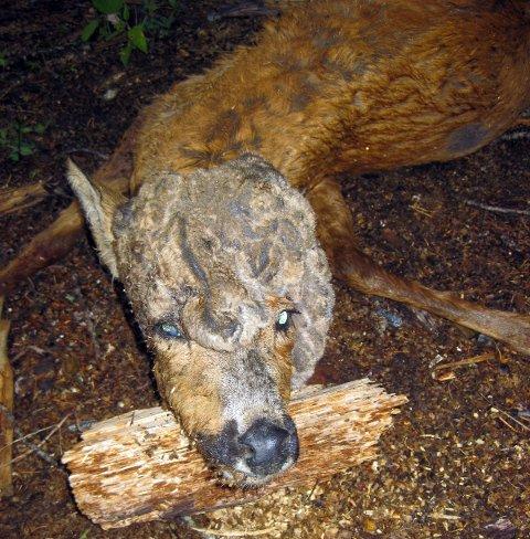 Parykkhorn: Parykkhorn er en sjelden sykdom hos hjortevilt.