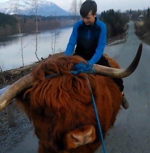 Oksen Cæsar syns bare det er stas å ha noen på ryggen. Her rir 13-åringen David oksen hjem fra vinterbeite.
