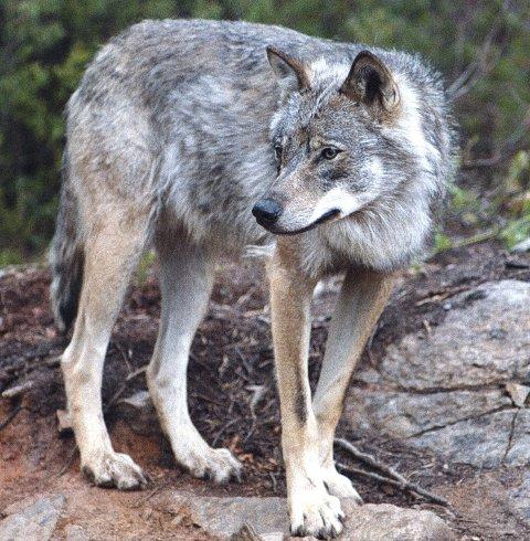 FLYTTING: Frp vil flytte ulven vekk fra klimaministeren.Foto: Gorm Kallestad/SCANPIX
