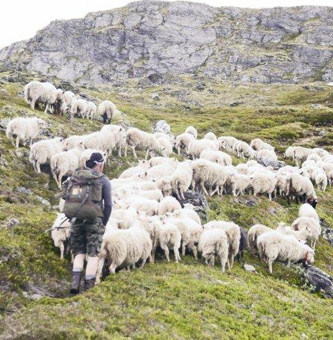 Sau: Beitet på Hardangervidda er viktig for mange.