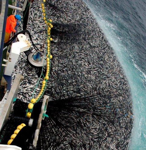 SILDESTART: 2016 har begynt bra for sildefiskerne.