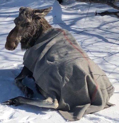 STIVFROSSEN: Elgen så en smule forfjamset ut etter at brannvesenet hadde reddet den opp fra iskalde Glomma skjærtorsdag.
