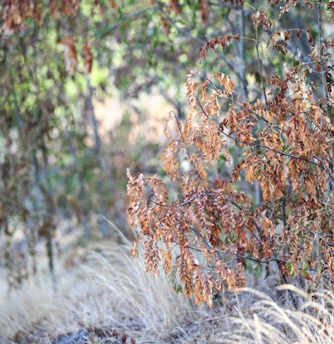 Høstfarger midt på sommeren: Tørken setter sine spor i naturen.Foto: Lise Åserud / NTB scanpix