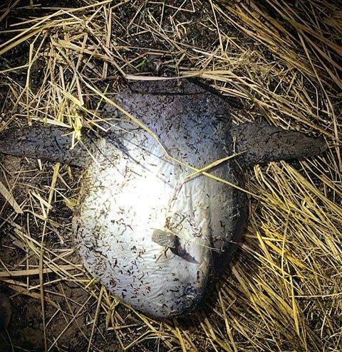 Fredag ble denne månefisken funnet i fjæra på Ovenstranda.