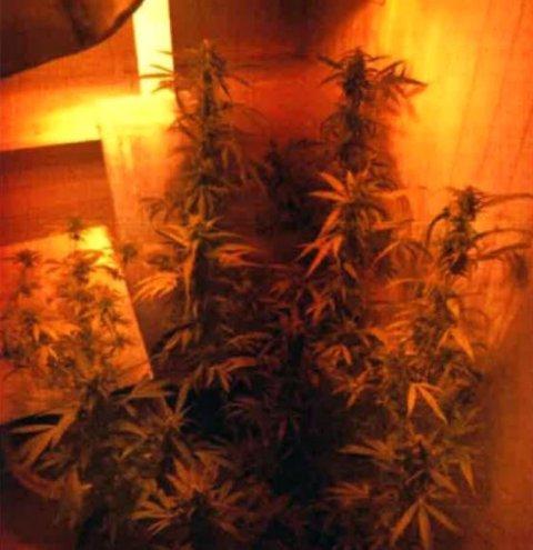 MARIHUANA: Politet fant marihuana-plantene i et rom som var forsøkt skjult.