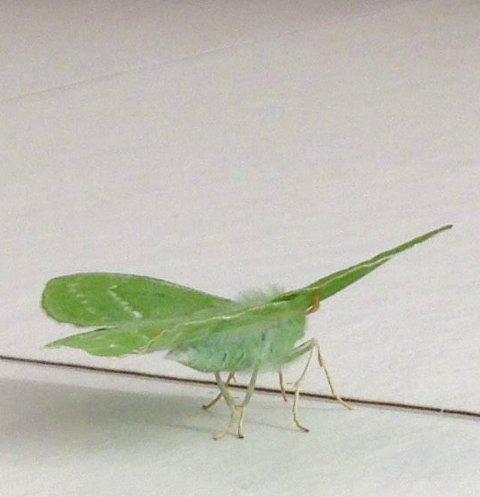 Grønn: Denne skapningen ble funnet på Tingvoll torsdag. Kan noen fastslå hva det er?Foto: Sindre Daniel Odde