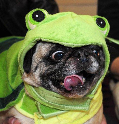 HALLOWEEN: Mange har sikkert kjøpt hundekostymer til sine firbente venner på halloween. Drammen Hundesenter advarer mot å la hunden bli en del av feiringen.