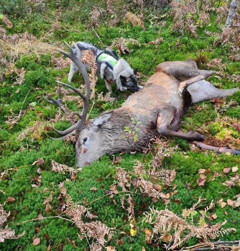Svein Birger Mortensen måtte ha hjelp av hunden Varg for å spore opp denne hjorten han skjøt i år.