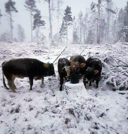 ENDELIG: Her er de. Nå begynner jobben med å få dyrene så trygge at de lar seg frakte tilbake til gården.