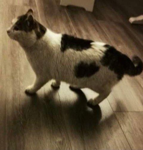 ETTERLYSER EIER: Dyrebeskyttelsen har tatt inn denne katten og etterlyser eieren.