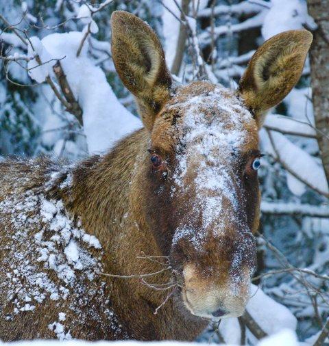 Betina Siebrandt fant denne elgen på søndagstur.