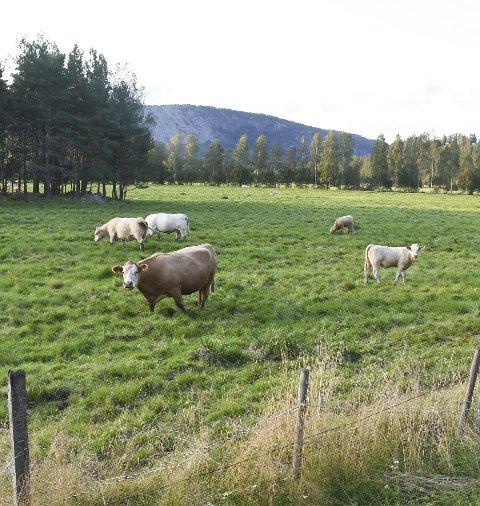 Store Jorder: I Åmli er det mange store og flate jorder som brukes til dyrefór eller til beite, som her vest for Åmli sentrum.