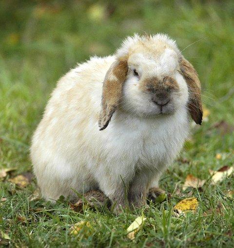 Fløtesaus? Vegard Hansen er innom kaniner i dagens spalte.
