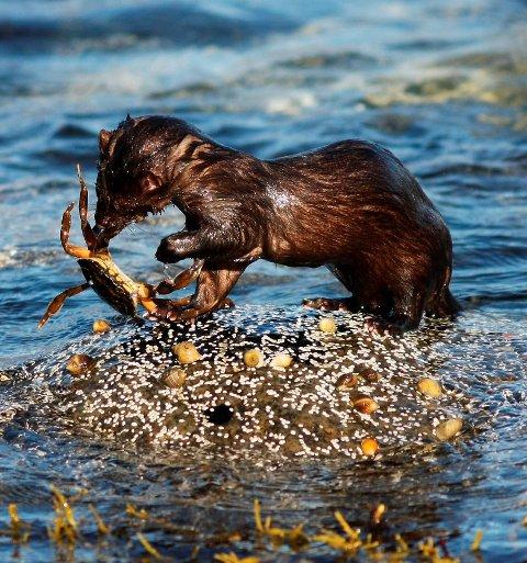 MINK: Mink hører ikke naturlig til i Norge og nå starter VVJFF med fellefangst av minken. Foto: Eric Fokke