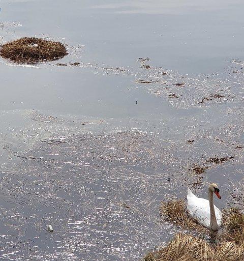 STEINSFJORDEN: Her er et unikt bilde av et svanereir med egg i fjorden.