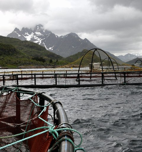 MOTTAK: Nordlaks Oppdrett AS åpner nå mottak der de som har fanget den rømte regnbueørret kan levere fisken. Ill.foto