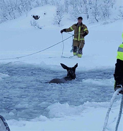 OVERLEVDE: En av elgene som havnet i vannet på Senja overlevde.