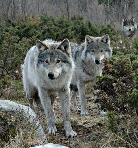 Ulvetips: Her er rådet du bør følge om du møter ulv.  Hold deg i ro, ikke stopp eller gå nærmere.