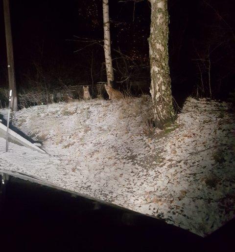 GAUPER: Et samboerpar fra Vestlandet møtte på to gaupeunger da de kjørte oppover Randen i Vågå kommune.