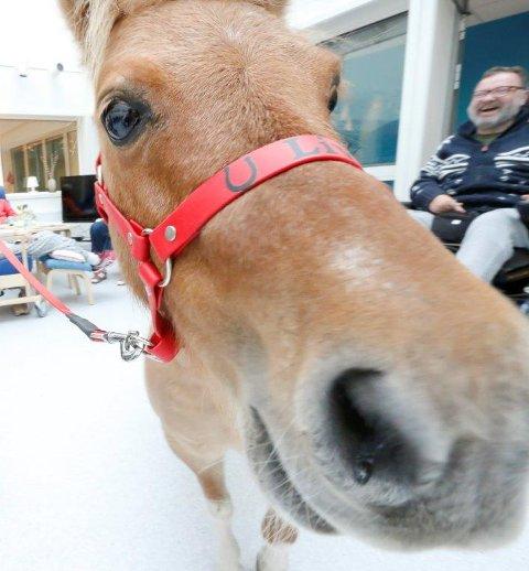 KORT VEI: Når nøden er størst, er hjelpen nærmest, heter det. Besøkshesten Liva og andre hester i Follo får kort vei å reise til NMBU Veterinærhøgskolens klinikk for hest dersom dyrne blir syke eller skadet.