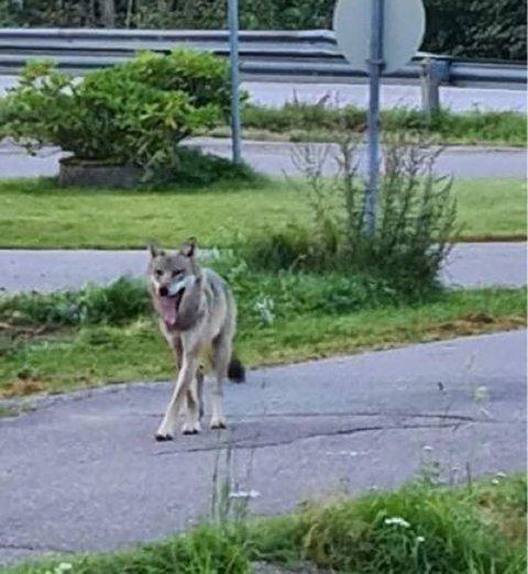 Ulven fotografert i boligfeltet på Bollerud i Eidsfoss torsdag morgen. Foto: Privat