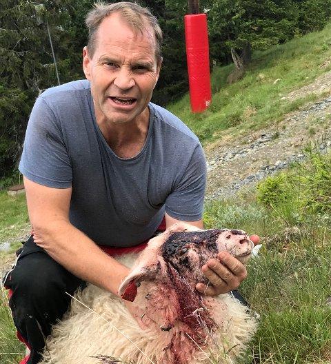 Lammet som ble funnet skadet i Kvitfjell tirsdag denne uka hadde beitet i området siden starten av juni. - Det er harmelig å finne dyret sitt slik, sier sauebonde Knut Evensen.