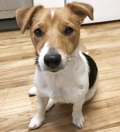 SAVNET: Amy, en Jack Russel terrier, forsvat fra sitt hjem på Godlia torsdag morgen og er dypt savnet. Foto: Privat