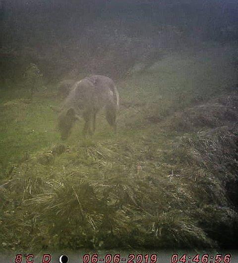 ULV I GAMMELDALEN: Dette bildet av ulv er tatt tidlig torsdag morgen på viltkamera plassert ut i Gammeldalen.