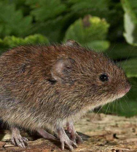 Risiko: Denne typen mus – klatremus – er bærer av Puumalaviruset, et virus som kan føre til musepest hos mennesker.