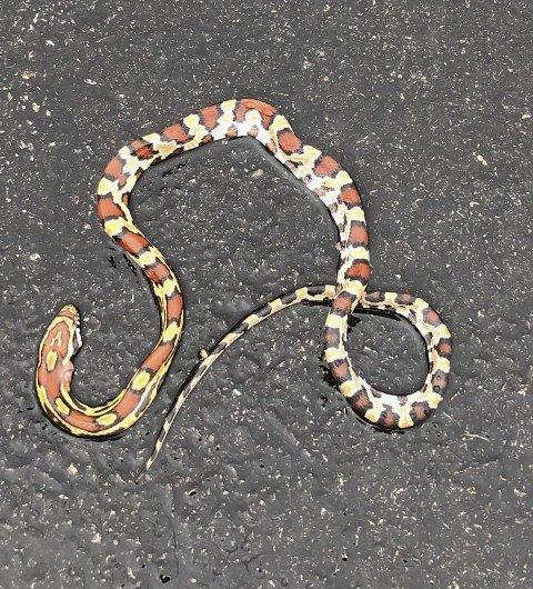 På rømmen i Hof: – Vi fant denne lille slangen, overkjørt, i Hof sentrum søndag morgen. Noen som savner den? Håper den er av en art som er lovlig i Norge og at den var ufarlig. Men det var litt skremmende, skriver Merete Storhaug til avisen. Det kan se ut som om det er en kornsnok som er en av de slangeartene som er lovlig kjæledyr i Norge. Kornsnoken kommer opprinnelig fra Nord-Amerika.            foto: Merete Storhaug